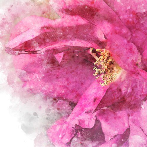 rose-3338324_1920